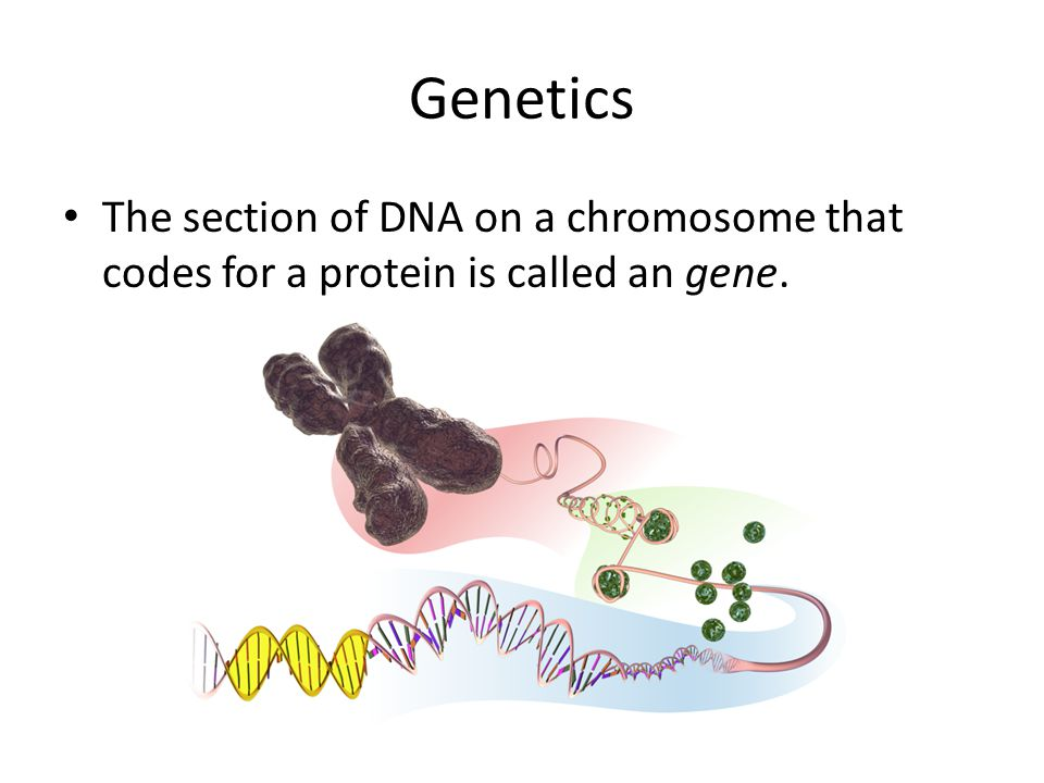 Genetics The section of DNA on a chromosome that codes for a protein is called an gene.