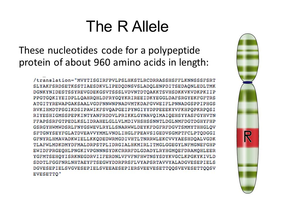 The R Allele These nucleotides code for a polypeptide protein of about 960 amino acids in length: