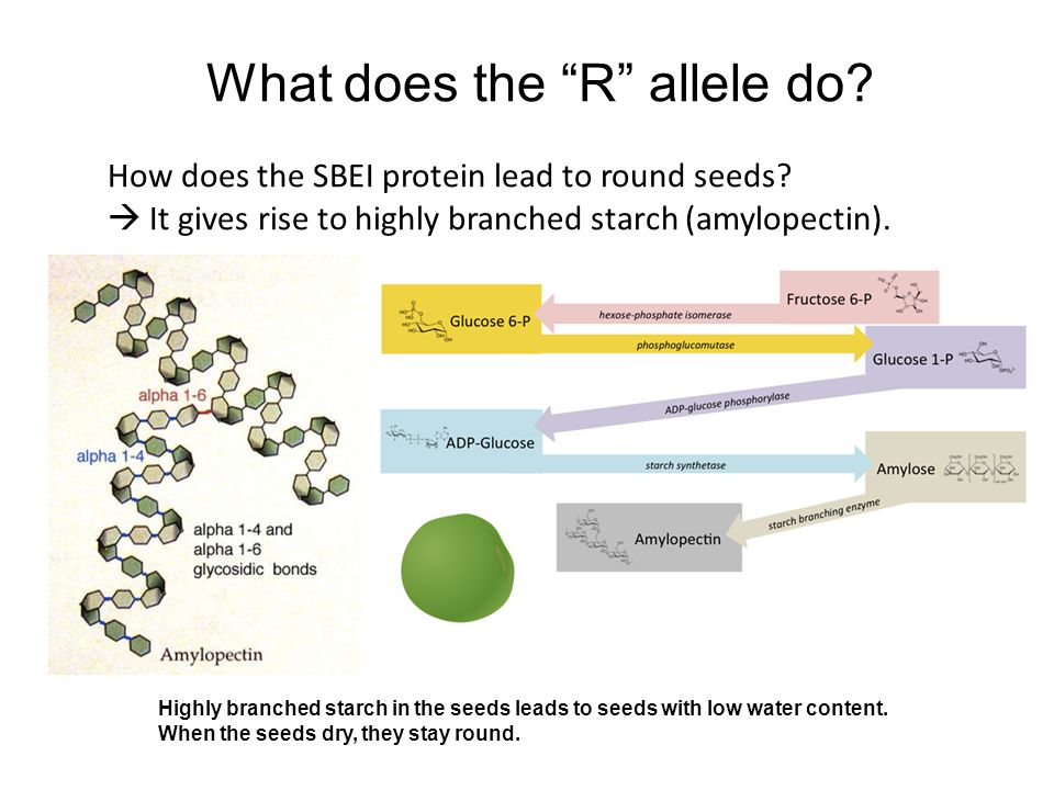 What does the R allele do