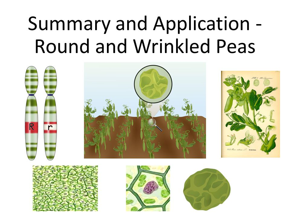 Summary and Application - Round and Wrinkled Peas