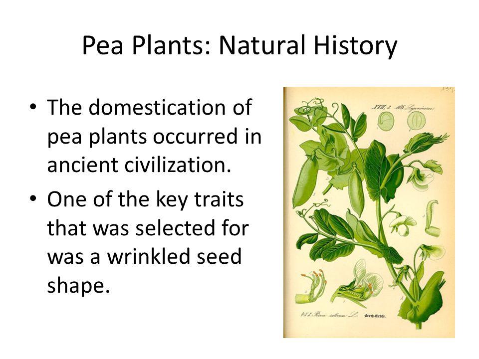 Pea Plants: Natural History