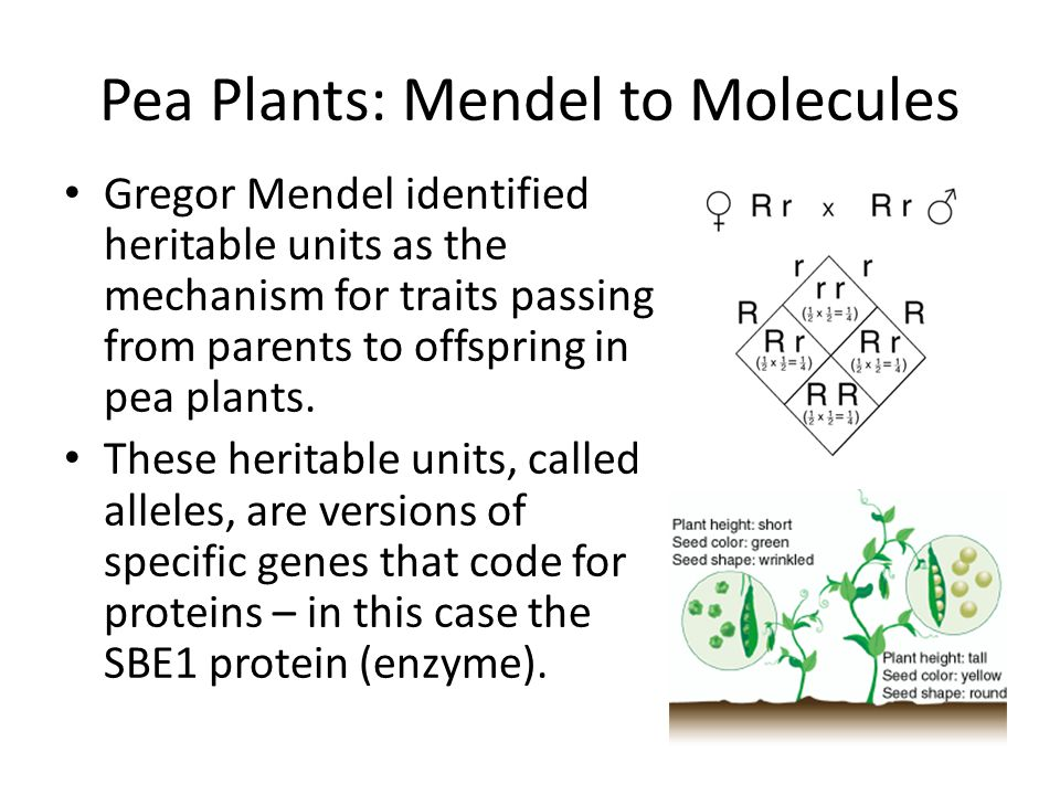 Pea Plants: Mendel to Molecules