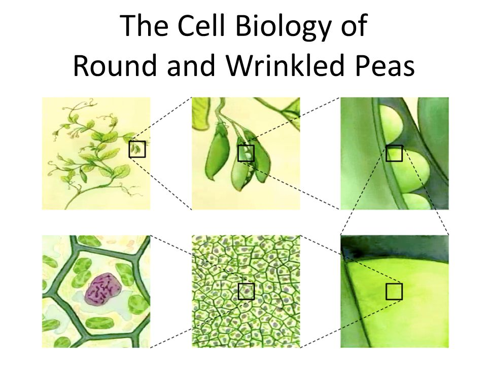 The Cell Biology of Round and Wrinkled Peas