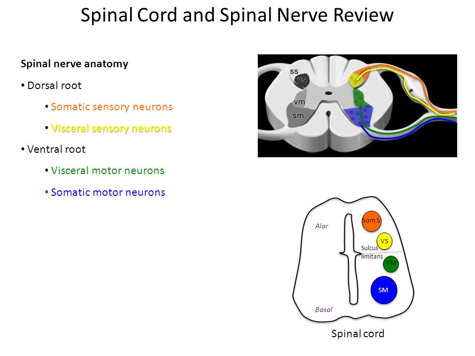 Spinal Cord and Spinal Nerve Review