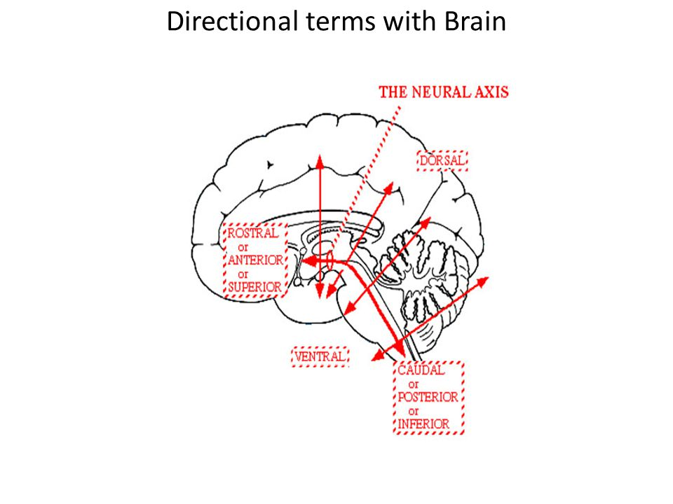 Directional terms with Brain