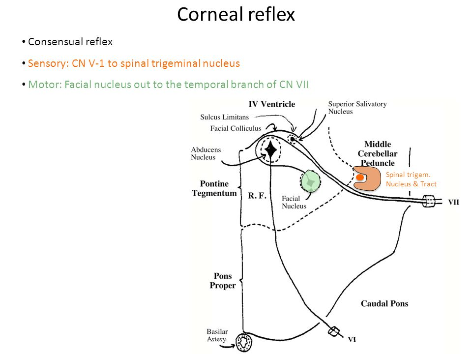 Corneal reflex Consensual reflex