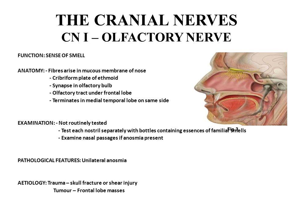 THE CRANIAL NERVES CN I – OLFACTORY NERVE