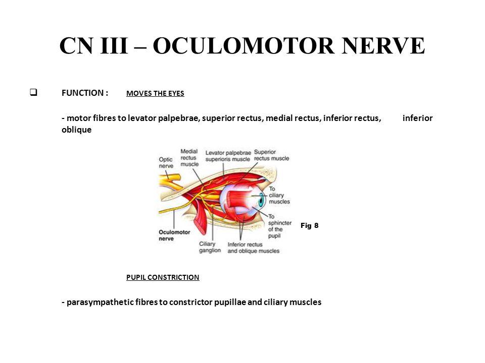 CN III – OCULOMOTOR NERVE