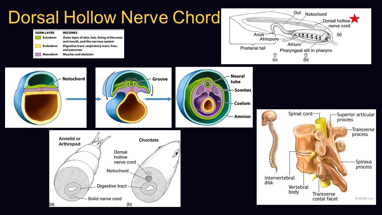 Dorsal Hollow Nerve Chord