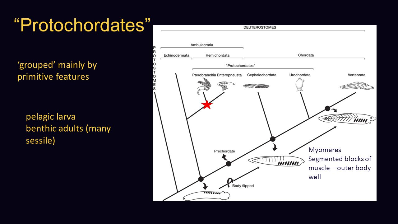 Protochordates 'grouped' mainly by primitive features pelagic larva