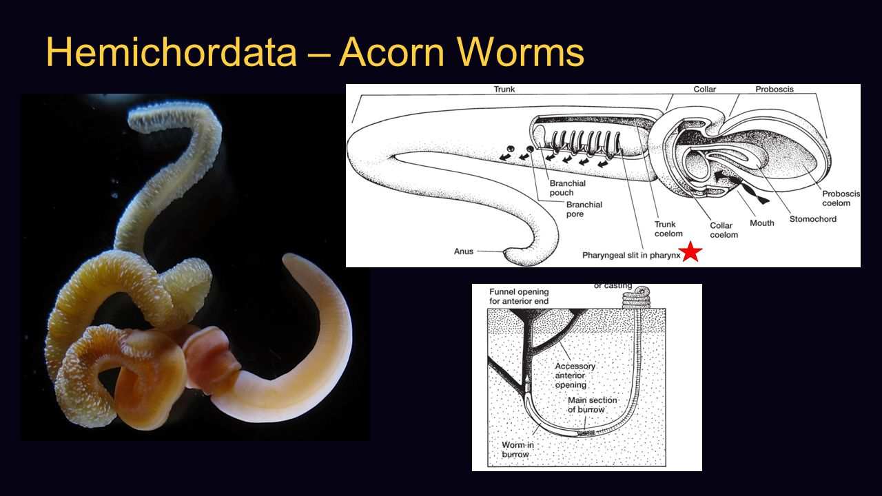 Hemichordata – Acorn Worms