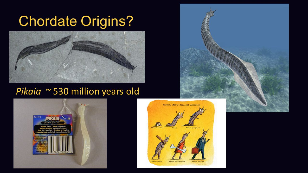 Chordate Origins Pikaia ~ 530 million years old