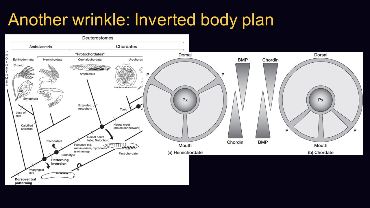 Another wrinkle: Inverted body plan