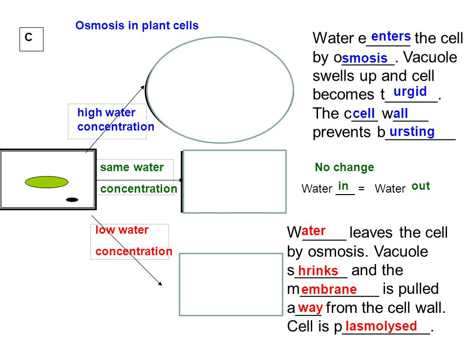 Osmosis in plant cells C. Water e_____ the cell by o______. Vacuole swells up and cell becomes t______. The c___ w____ prevents b________.