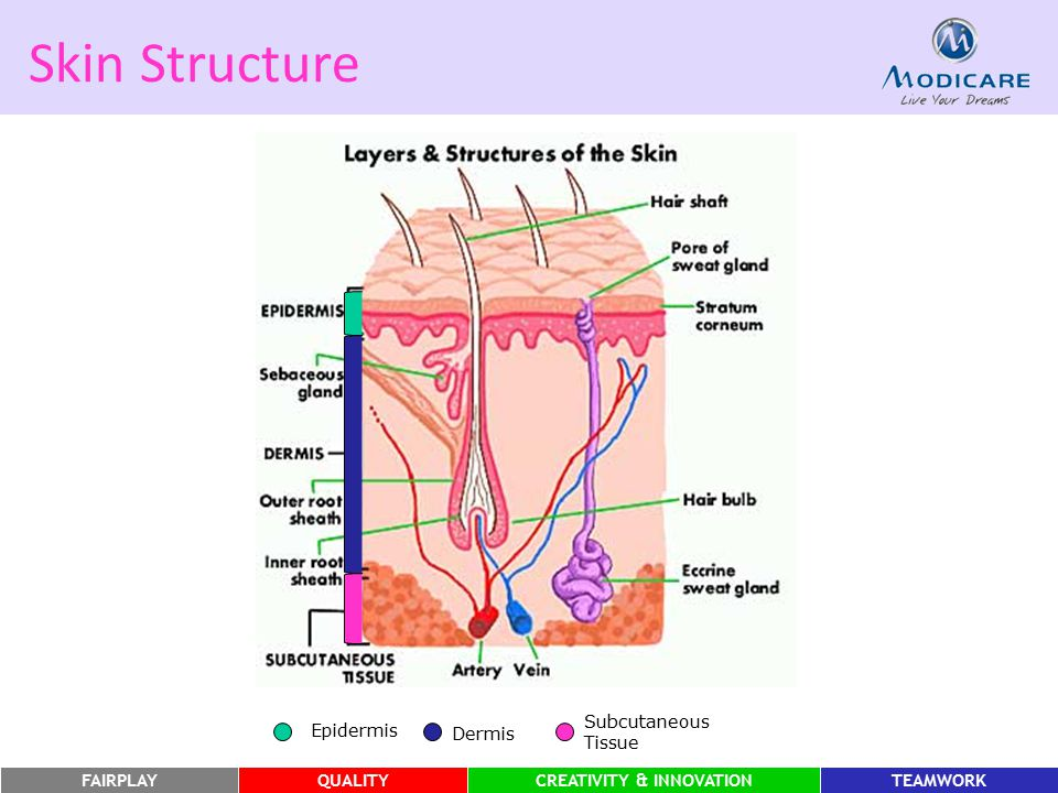 Skin Structure Epidermis :