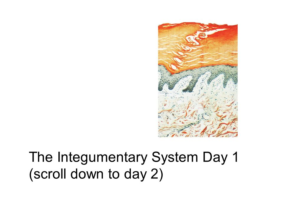 The Integumentary System Day 1 (scroll down to day 2)