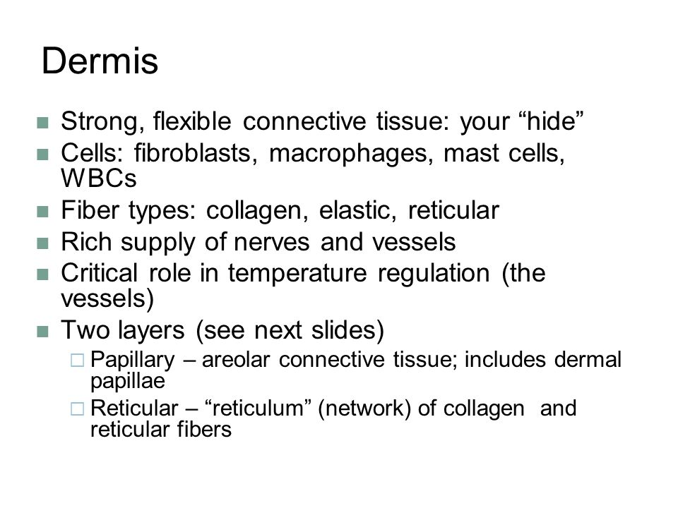 Dermis Strong, flexible connective tissue: your hide