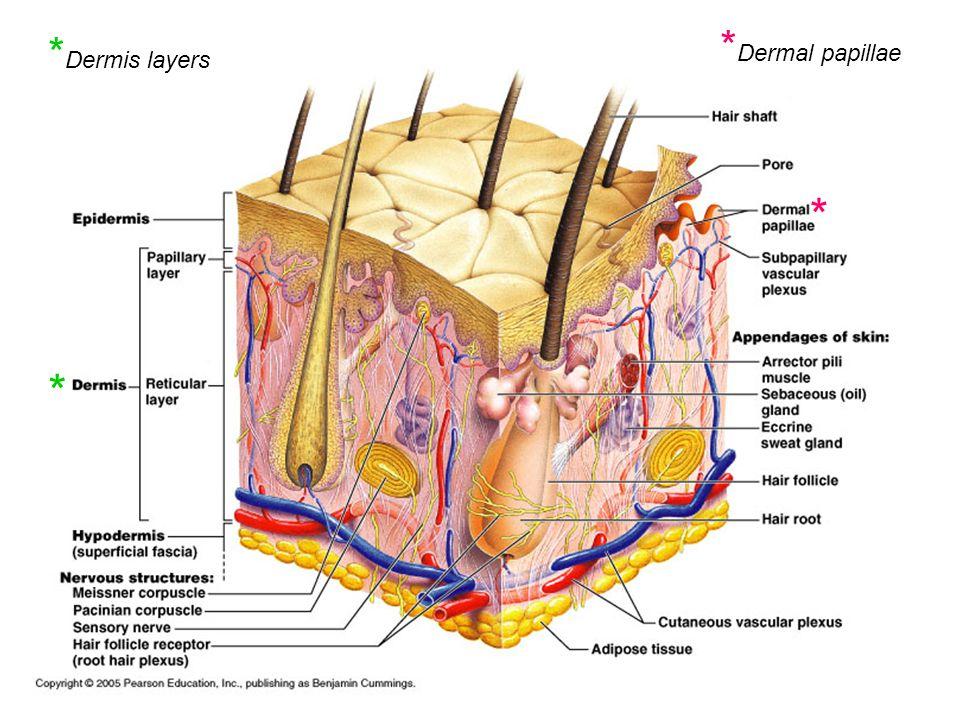 *Dermal papillae *Dermis layers * *