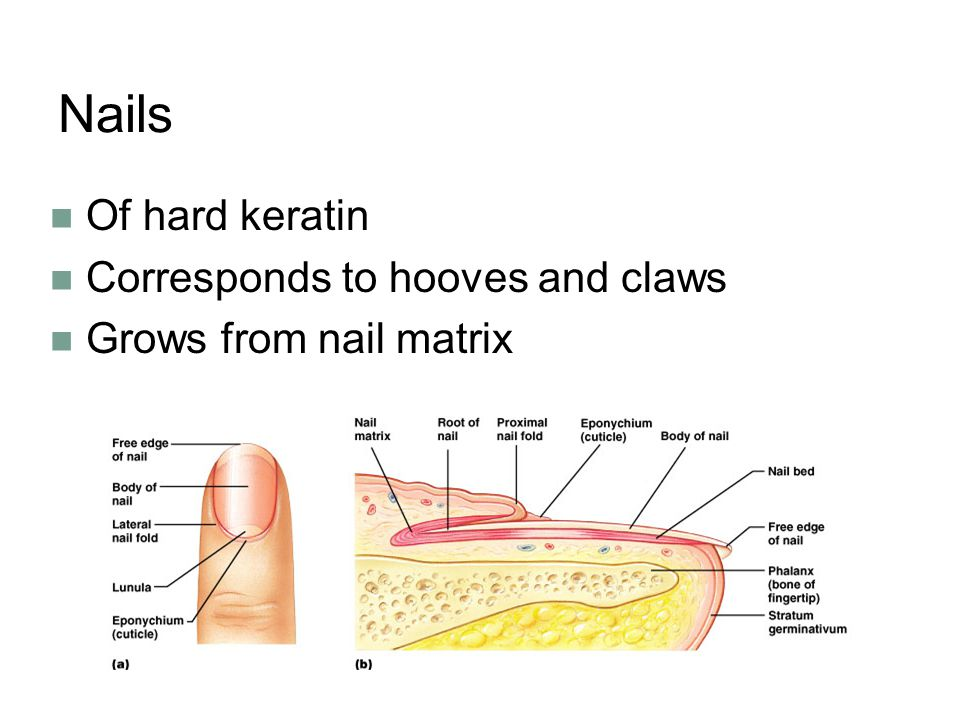 Nails Of hard keratin Corresponds to hooves and claws
