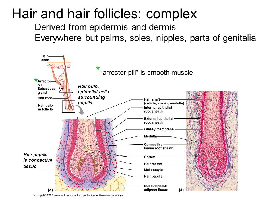 Hair and hair follicles: complex Derived from epidermis and dermis Everywhere but palms, soles, nipples, parts of genitalia