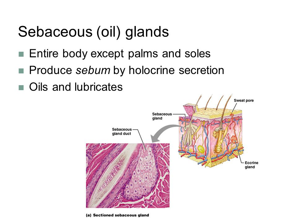 Sebaceous (oil) glands