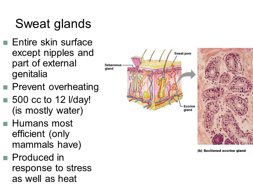 Sweat glands Entire skin surface except nipples and part of external genitalia. Prevent overheating.