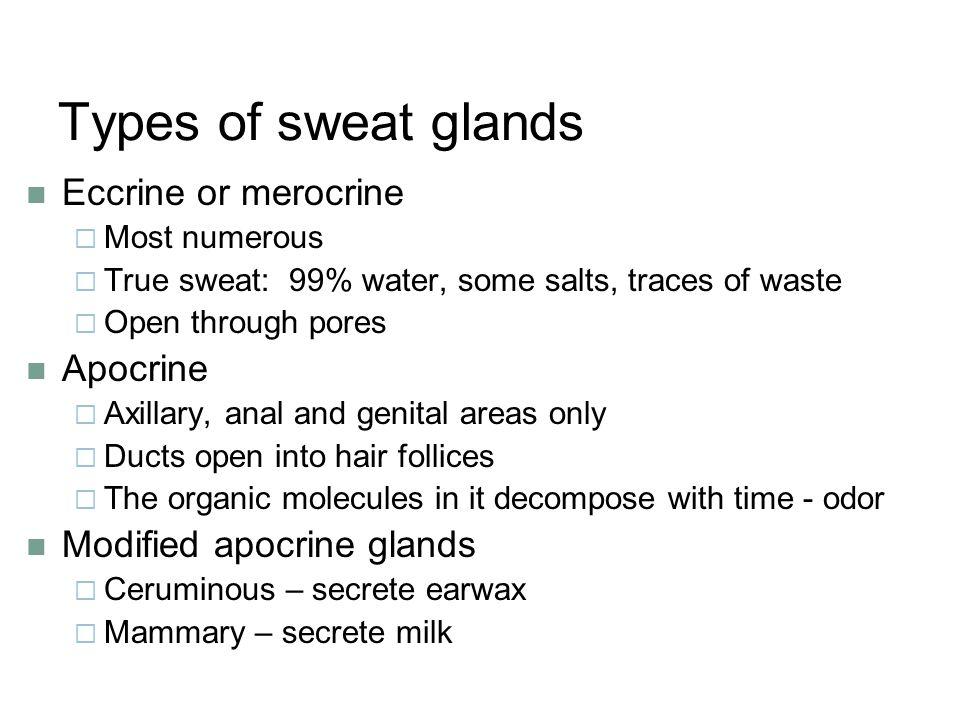 Types of sweat glands Eccrine or merocrine Apocrine