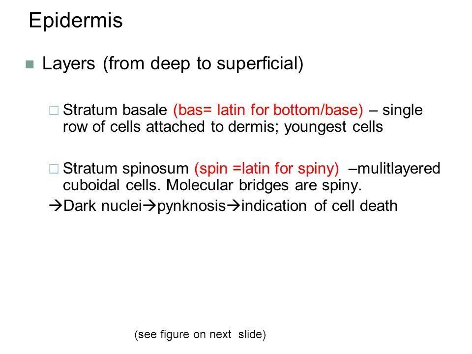 Epidermis Layers (from deep to superficial)