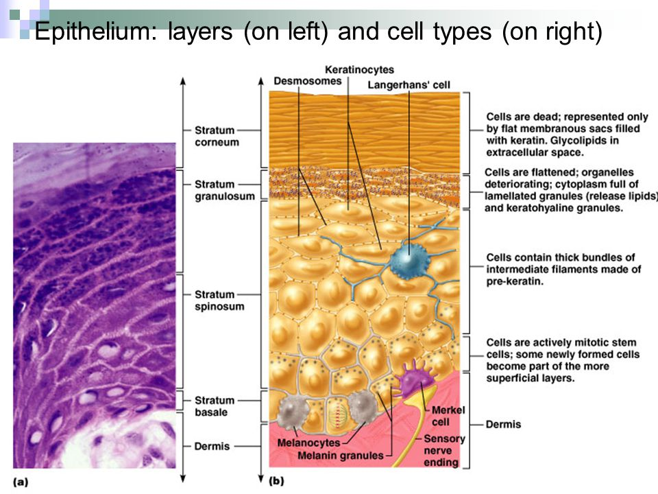Epithelium: layers (on left) and cell types (on right)