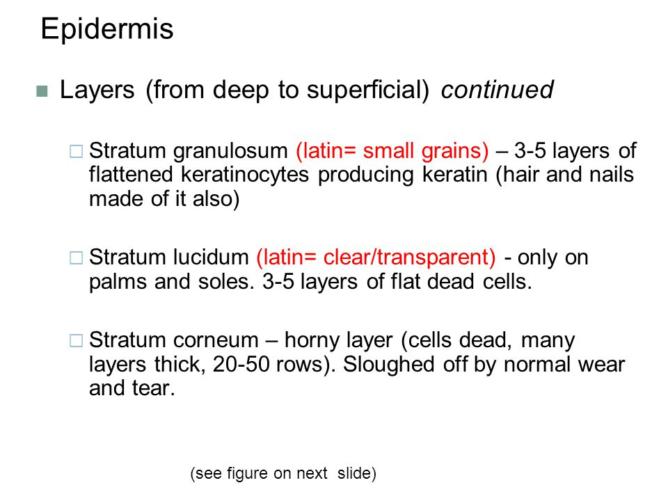 Epidermis Layers (from deep to superficial) continued