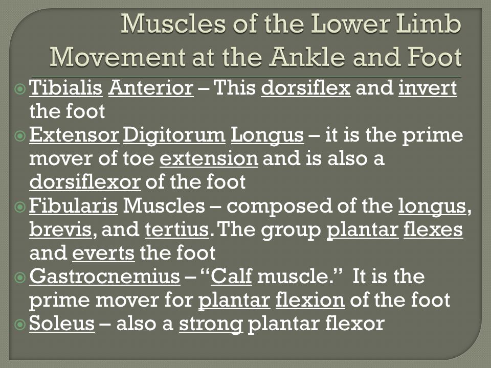 Muscles of the Lower Limb Movement at the Ankle and Foot