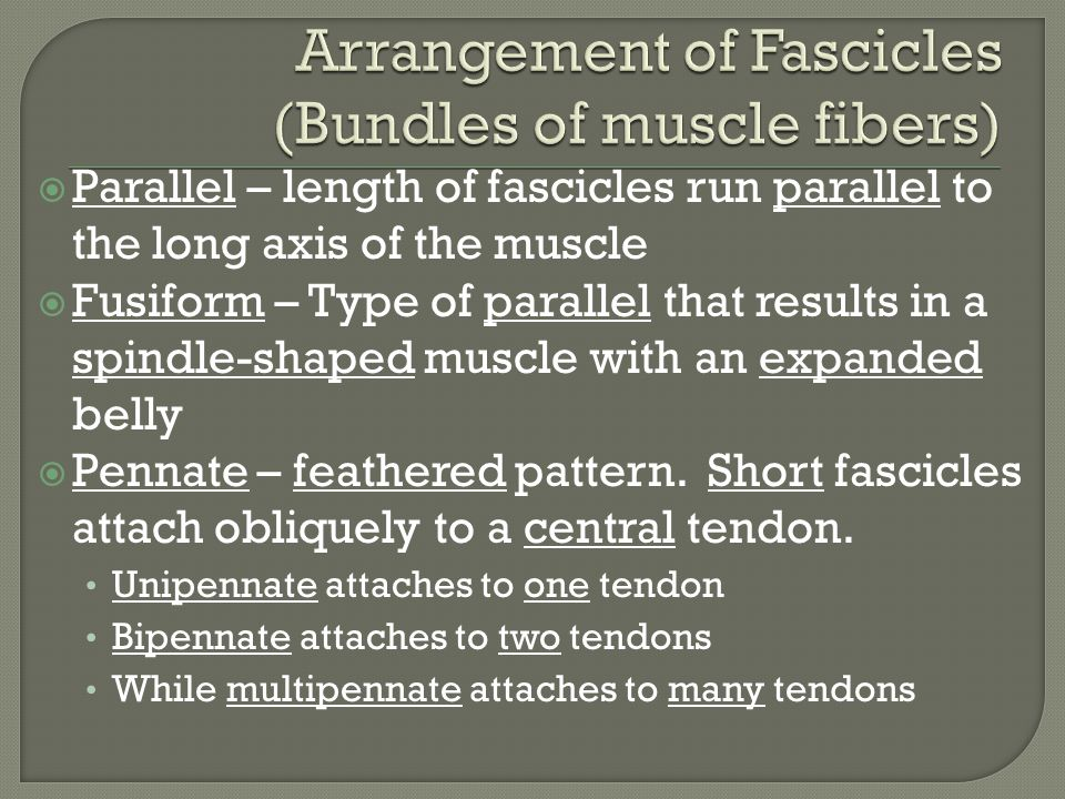 Arrangement of Fascicles (Bundles of muscle fibers)