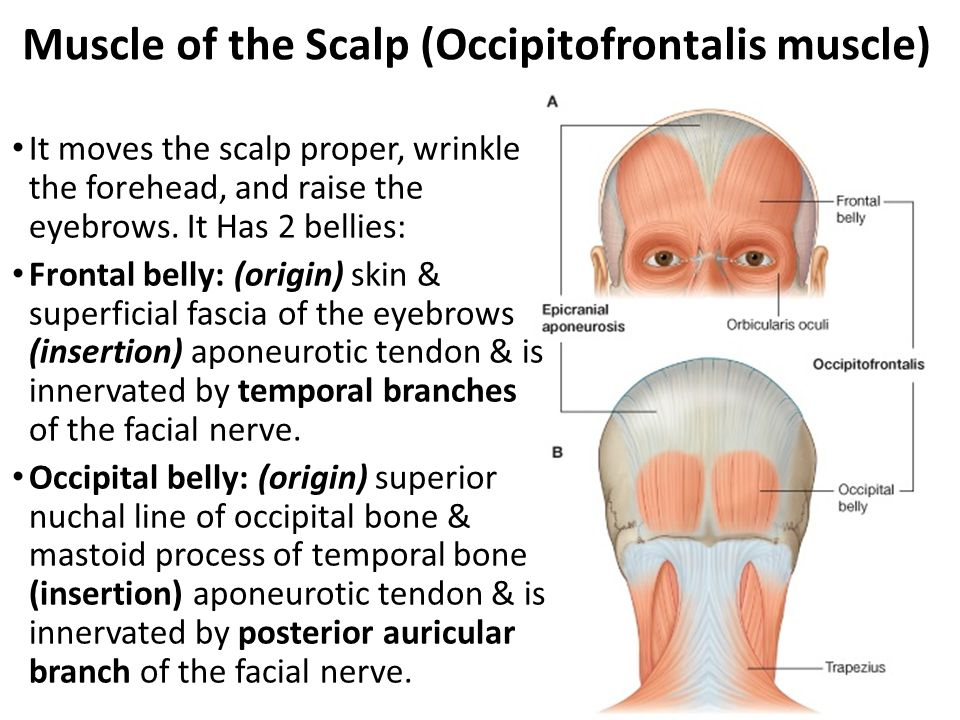 Muscle of the Scalp (Occipitofrontalis muscle)