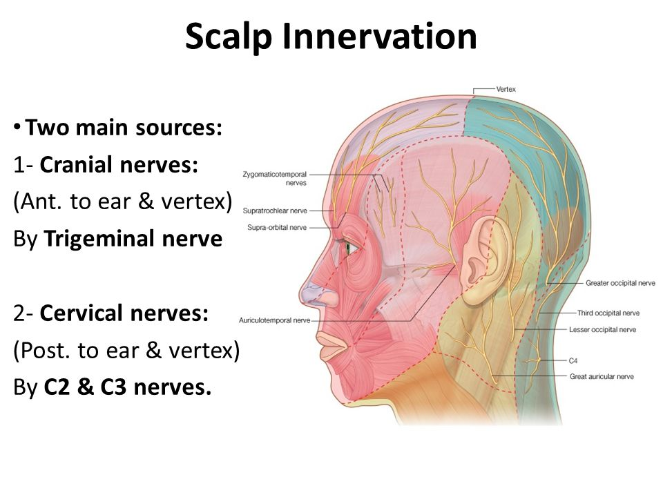 Scalp Innervation Two main sources: 1- Cranial nerves: