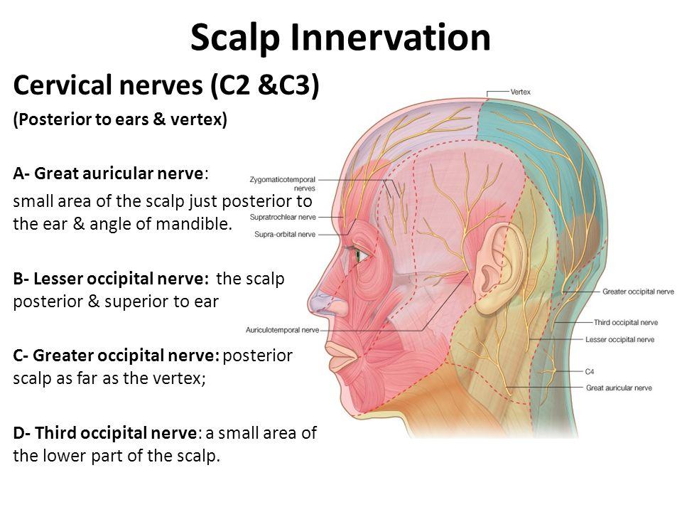 Scalp Innervation Cervical nerves (C2 &C3)
