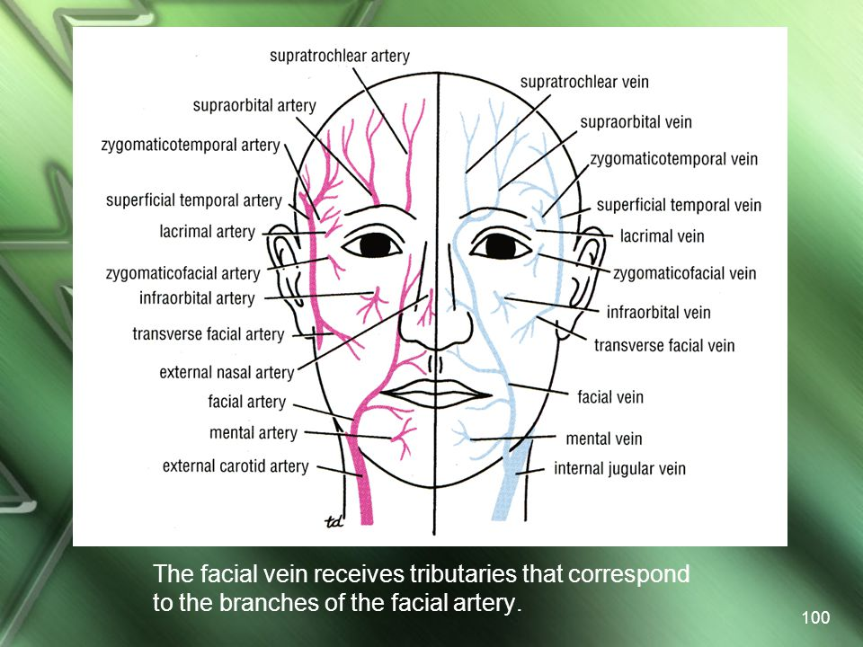 The facial vein receives tributaries that correspond to the branches of the facial artery.