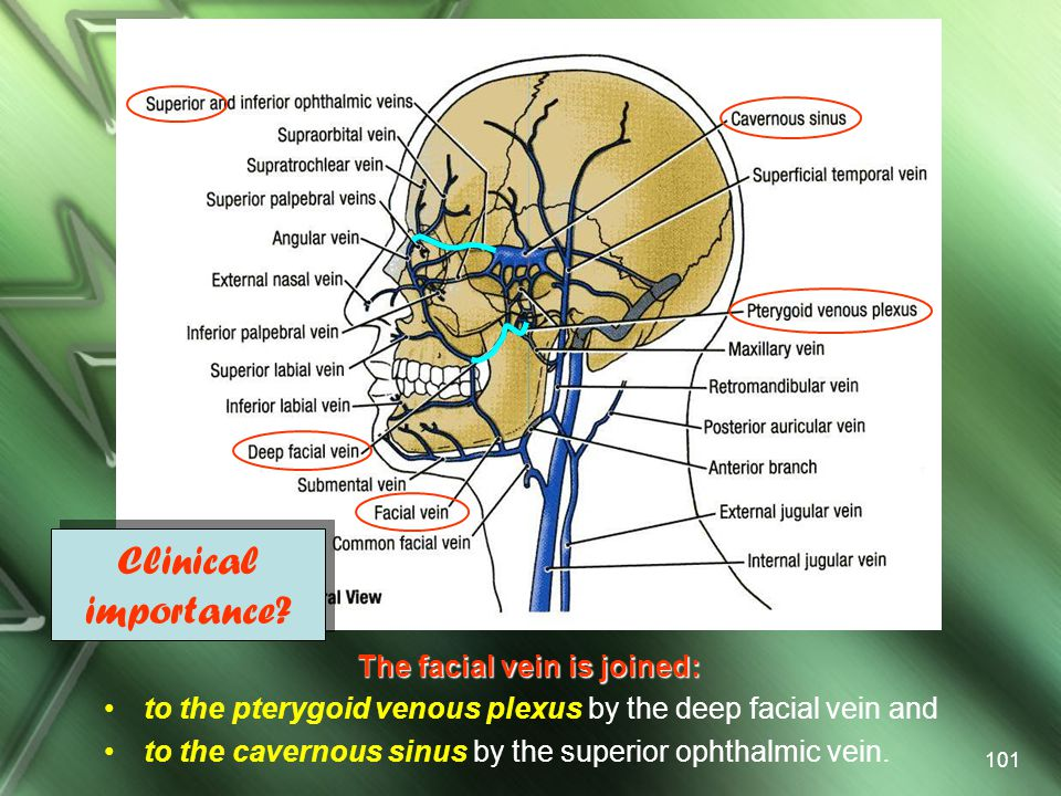 The facial vein is joined: