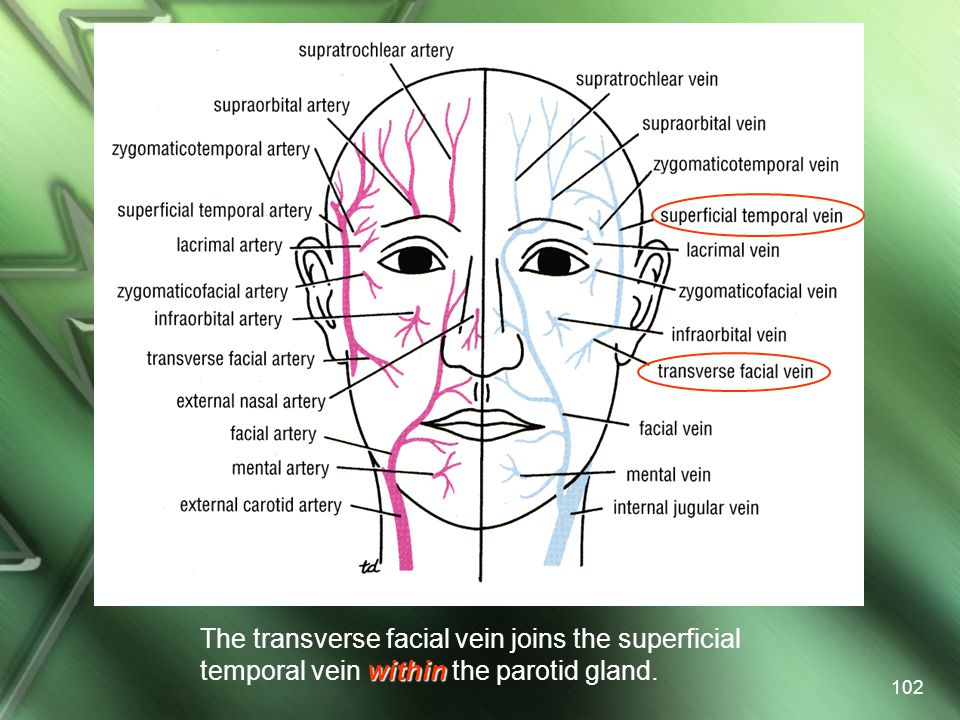 The transverse facial vein joins the superficial temporal vein within the parotid gland.