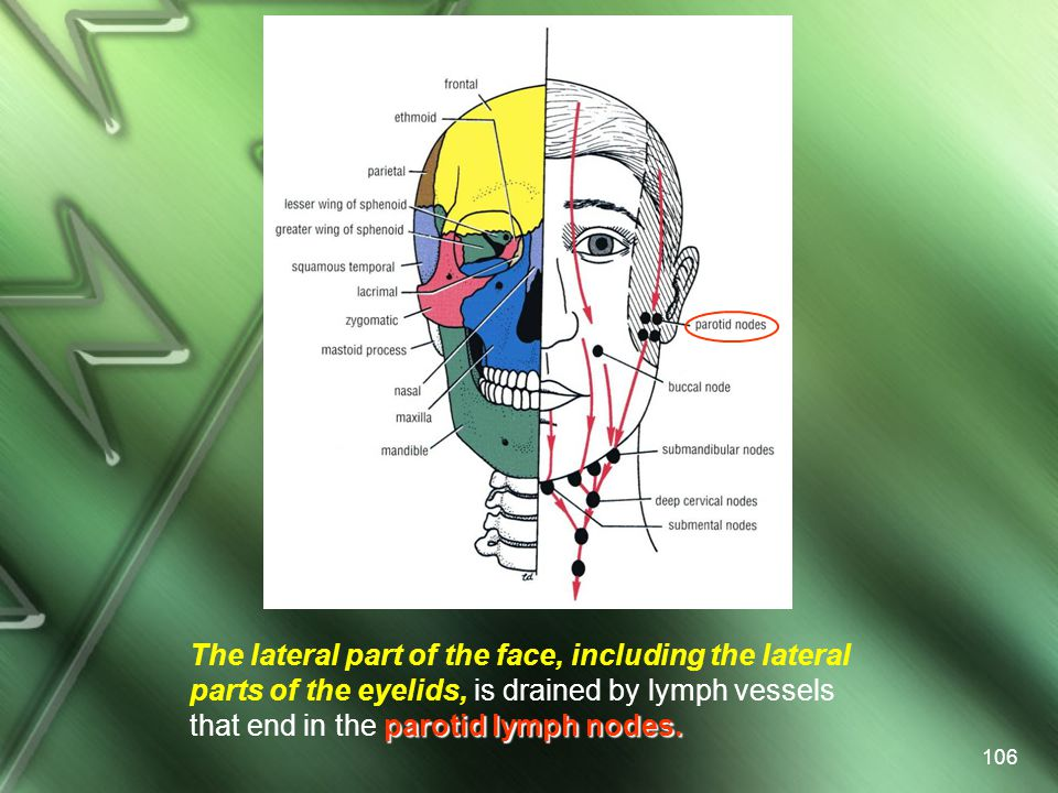 The lateral part of the face, including the lateral parts of the eyelids, is drained by lymph vessels that end in the parotid lymph nodes.