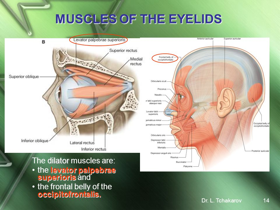 MUSCLES OF THE EYELIDS The dilator muscles are:
