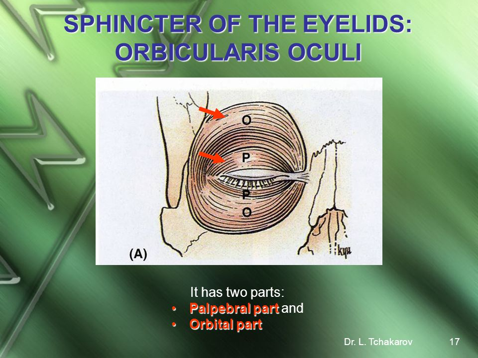 SPHINCTER OF THE EYELIDS: ORBICULARIS OCULI