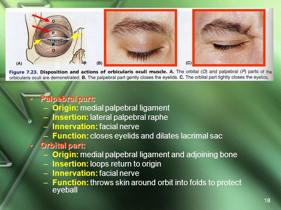 Palpebral part: Origin: medial palpebral ligament. Insertion: lateral palpebral raphe. Innervation: facial nerve.