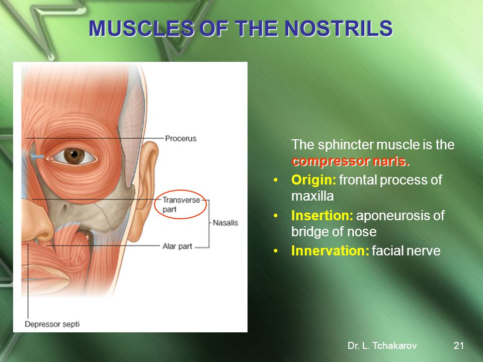 MUSCLES OF THE NOSTRILS