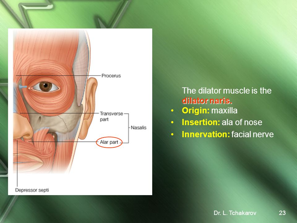 The dilator muscle is the dilator naris. Origin: maxilla