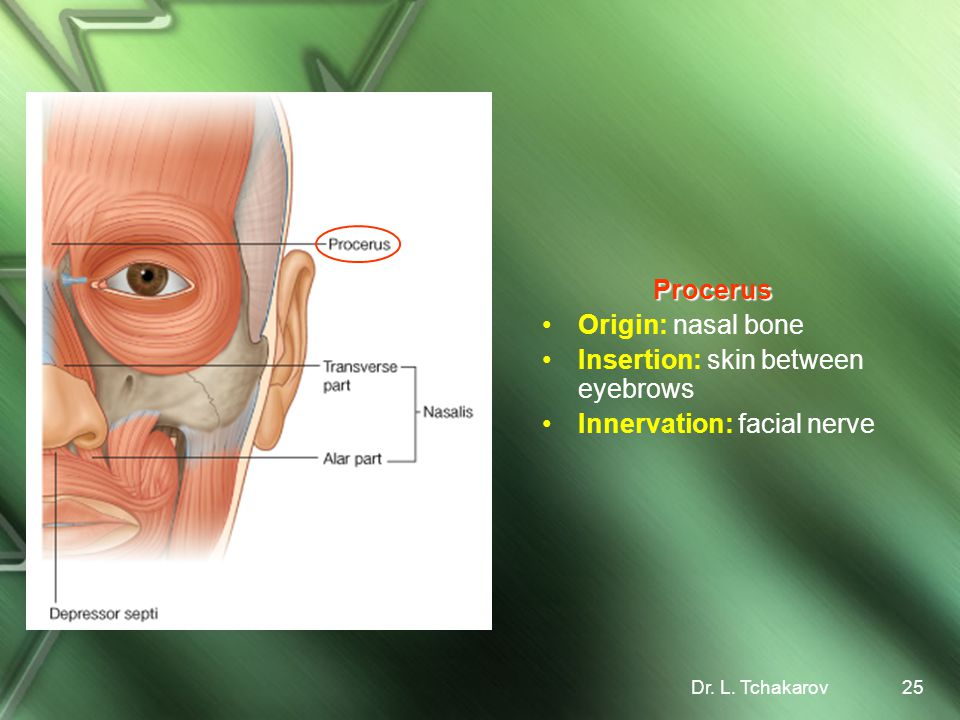 Insertion: skin between eyebrows Innervation: facial nerve