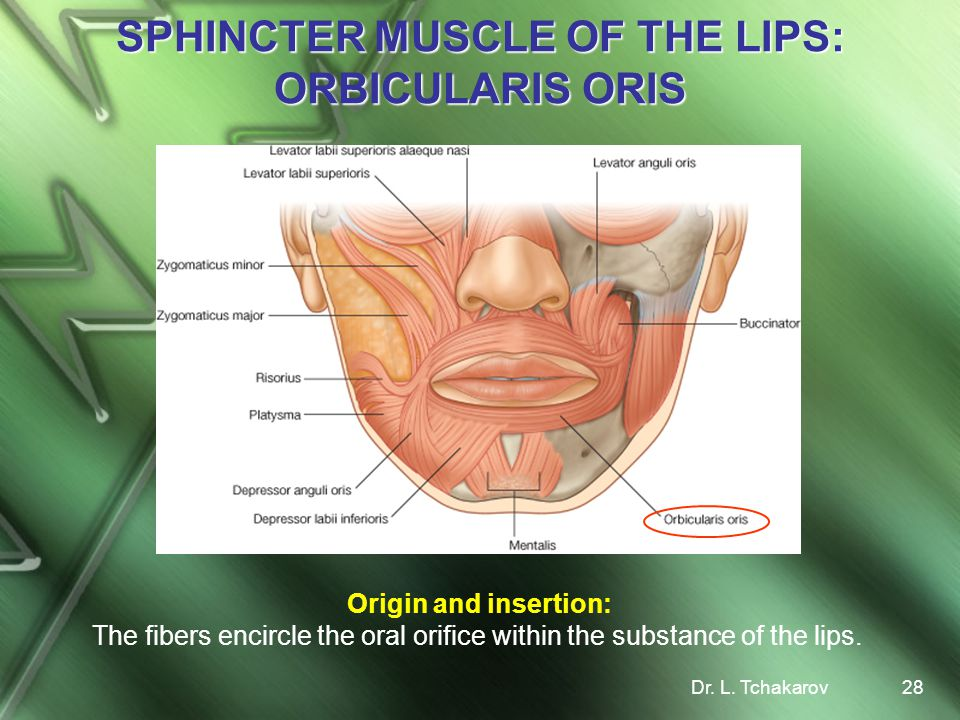 SPHINCTER MUSCLE OF THE LIPS: ORBICULARIS ORIS
