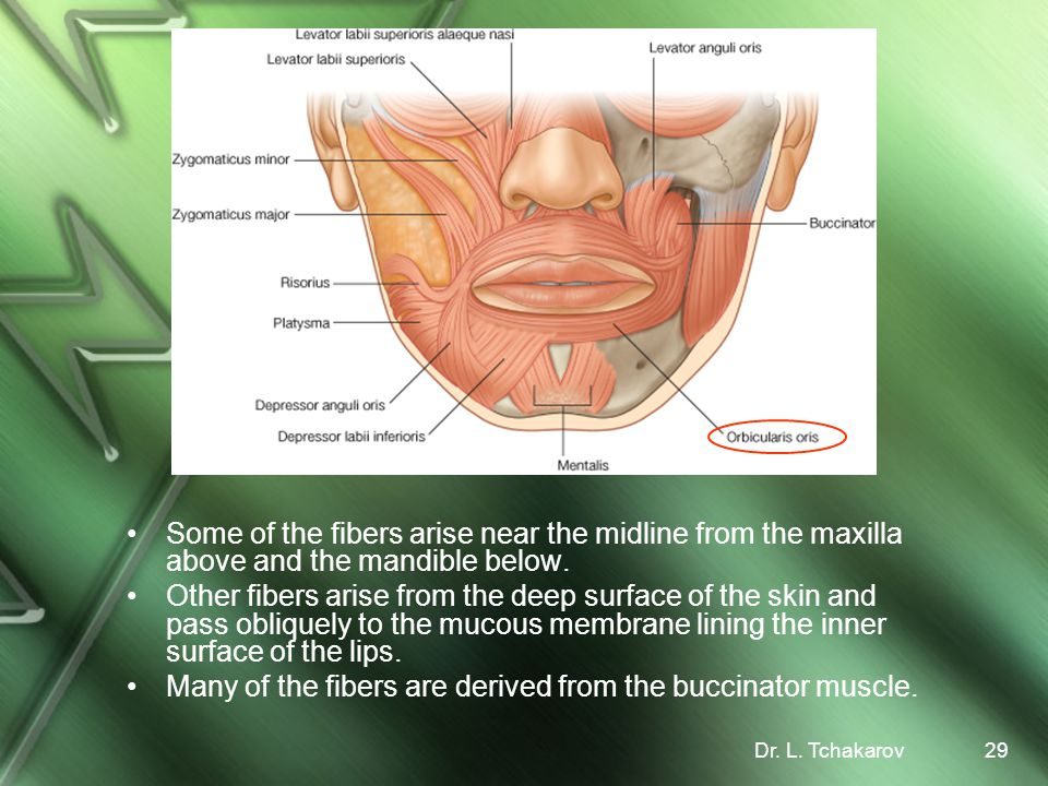 Many of the fibers are derived from the buccinator muscle.
