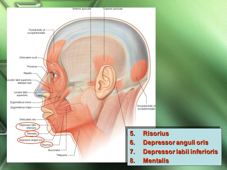 Depressor labii inferioris Mentalis