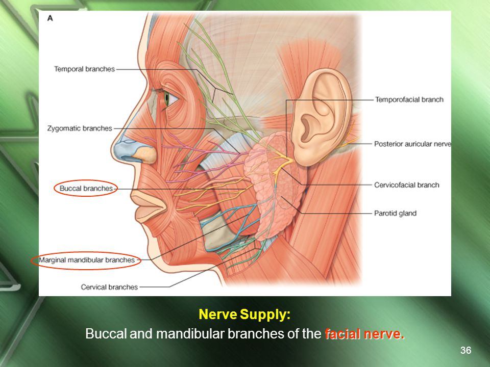 Nerve Supply: Buccal and mandibular branches of the facial nerve.