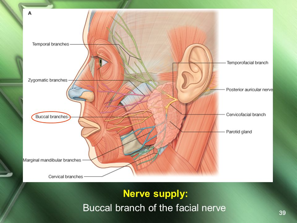 Nerve supply: Buccal branch of the facial nerve